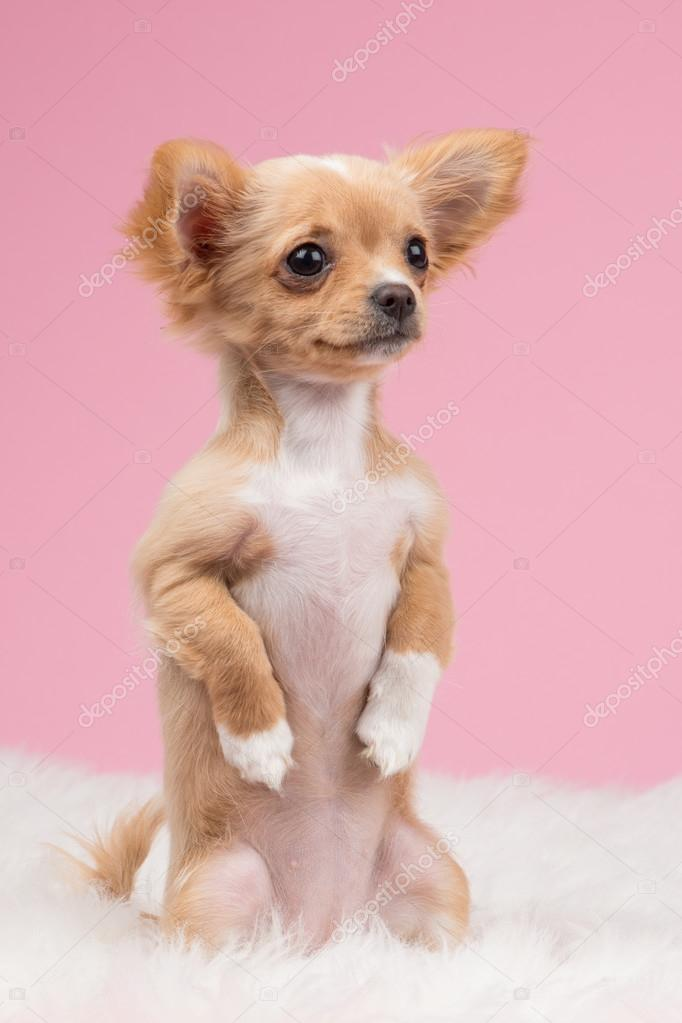 Cute Chihuahua Puppy Sitting Up Straight Stock Photo