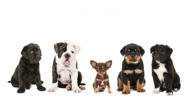 Different breeds of puppy dogs in a row
