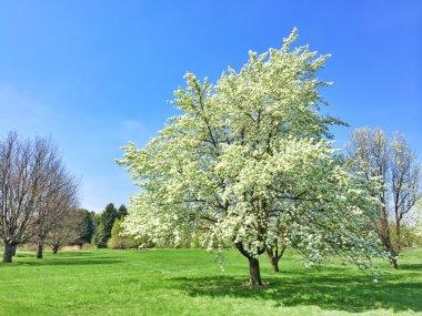 White blooming tree in spring garden
