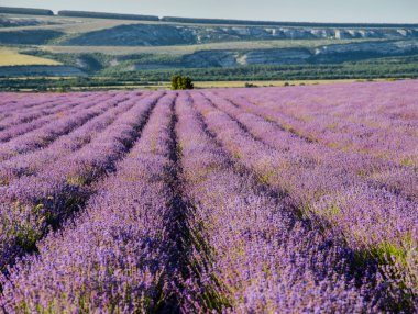 Panorama of lavender fields
