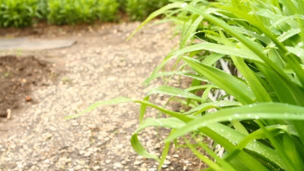 Kapky rosy na listech trávy, kymácející, detail