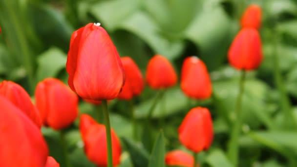 tulipány v posteli kymácí ve větru