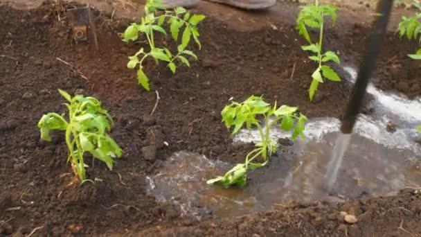 Sazenice mladých rajčat s hadicí