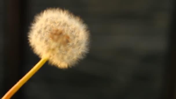 Bílý nadýchaný Pampeliška obrací na černém pozadí, mělké hloubky ostrosti
