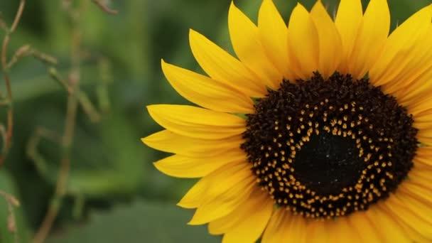 Slunečnice kymácí ve větru.
