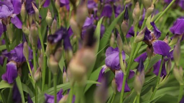 záhonu s Kvetoucí fialové kosatce
