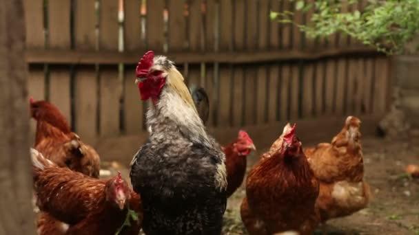 Chickens walk the paddock.