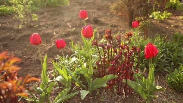 Piros tulipánnal virágágyás.