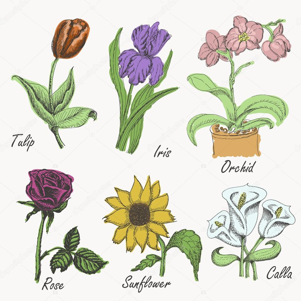 Set of colored flowers - tulip, iris, orchid, rose, sunflower and calla. Hand drawing. Vector illustrations