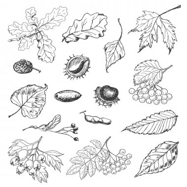 Set of isolated Autumn leaves, seeds and berries
