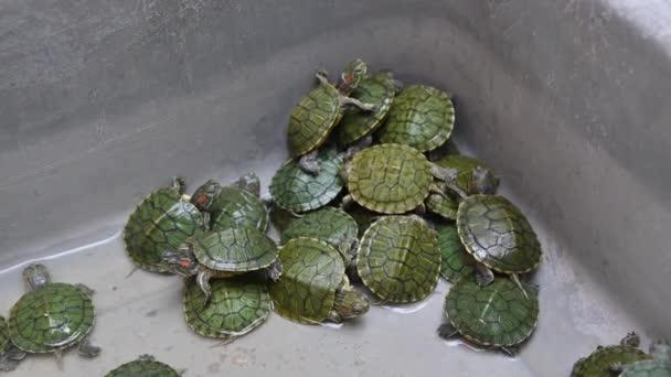4K Baby Schildkröten zum Verkauf auf dem Aquarienmarkt in Bangkok