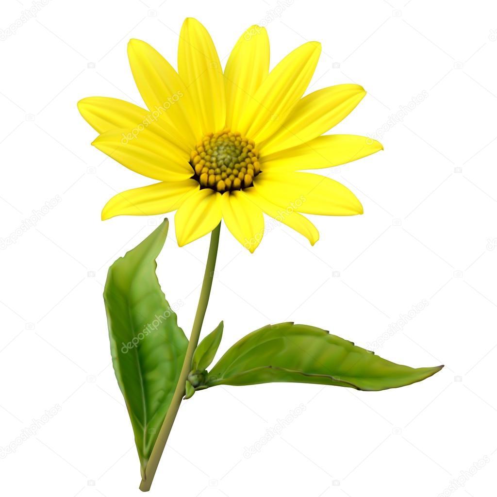 Topinambour (Jerusalem artichoke) flower