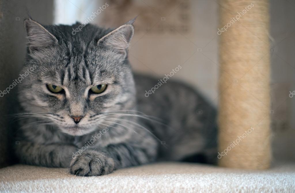 grijze cyperse kat op zoek — stockfoto © bluecaterpillar #66807507
