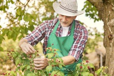 gardener harvesting raspberry