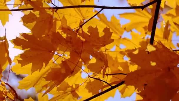 Gold-Ahorn Blätter und Sonne