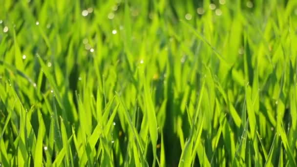 Morning Dew on the Green Grass