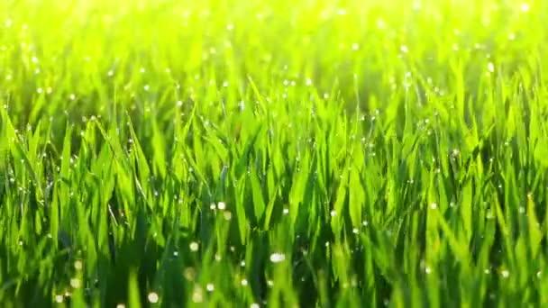 Ranní rosa na trávě a vítr
