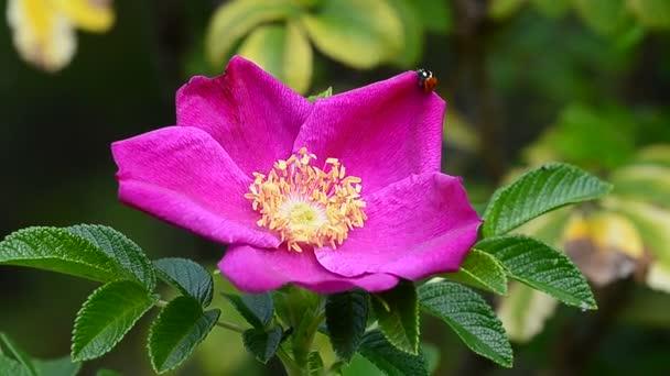 Beruška, procházení na divoké růže květ