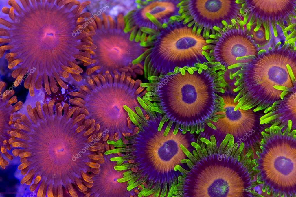 Contrasing zoanthids