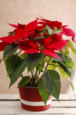 The poinsettia flower (Euphorbia pulcherrima)