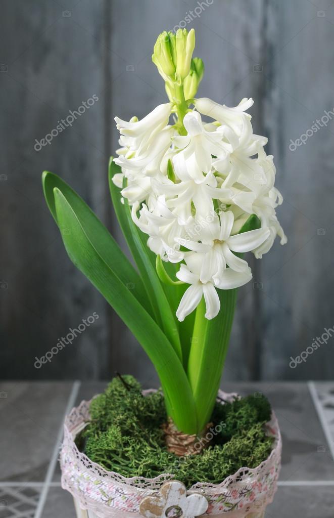 Dekoration mit weiße Hyazinthen — Stockfoto © agneskantaruk #115299680