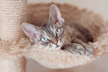 Adorable beautiful Devon Rex cat is chilling on the scratching post.