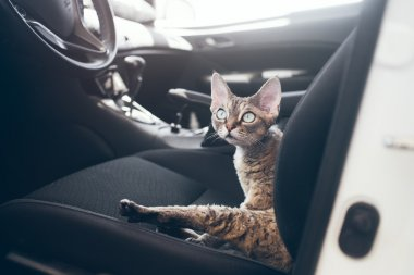 Travel with pets. Cat is traveling in a car. Beautiful devon rex cat is sitting in a car seat