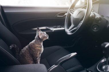 Beautiful Devon Rex cat is sitting in a car seat