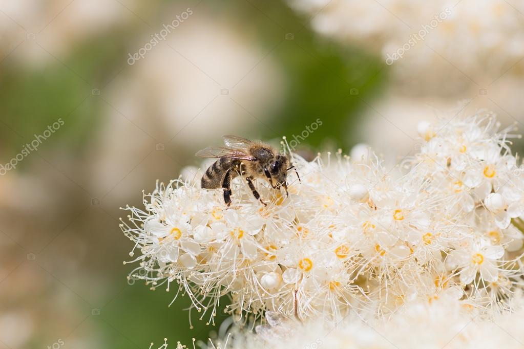 Abeja Recogiendo Néctar En Flores De Blanco