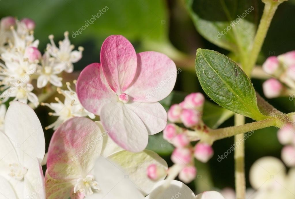 hydrangea sundae fraise blossoms — Stock Photo © SusaZoom #78889672