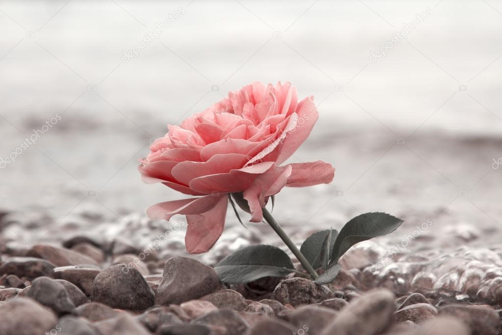 Розовые розы цветок на каменистый пляж — стоковое фото