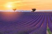 Krásné barvy fialové levandule pole poblíž Valensole, Provence