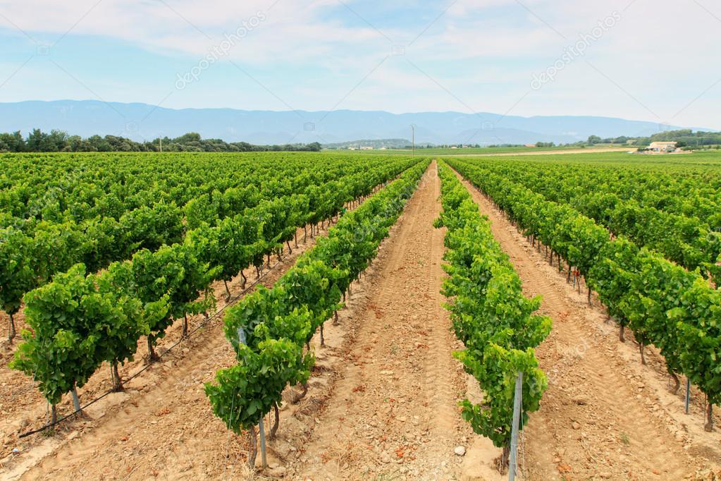 Vineyard in the wine region