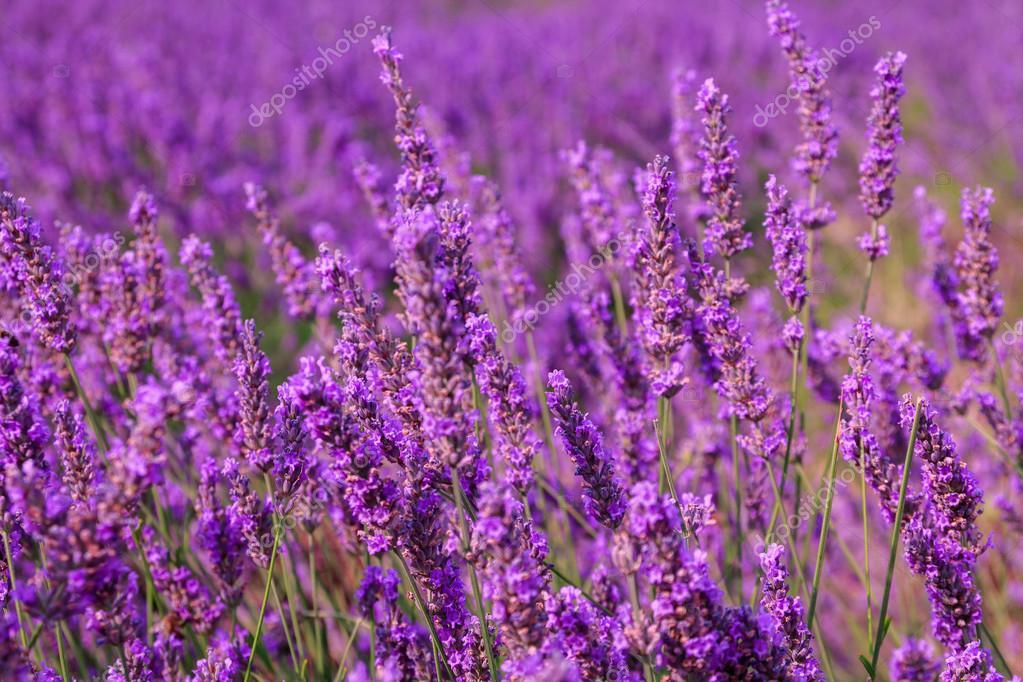 Beautiful fragrant lavender fields