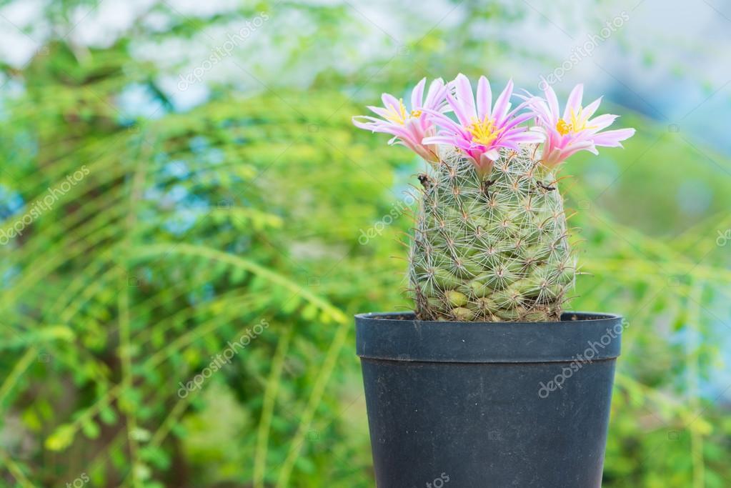 Cactus Avec Fleur Rose En Pot De Fleurs Sur Fond Vert Photographie