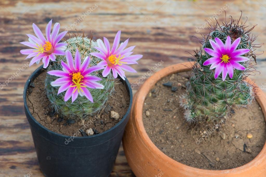 Cactus Avec Fleur Rose En Pot De Fleur Photographie Khuntapoldep