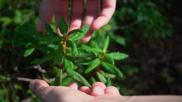 Ruce, výdej divoké Labradorský čaj