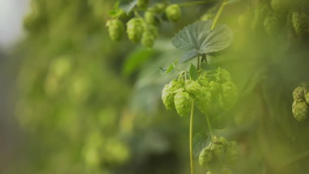 Beautiful Slow Motion of Ready to Harvest Hops
