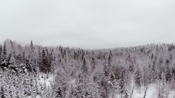 Smrk, borovice a jedle Les v zimě