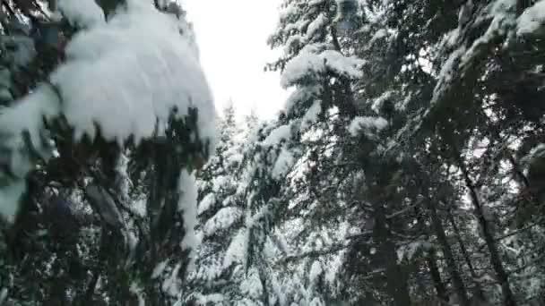 Zimní Les smrku, jedle a borovice