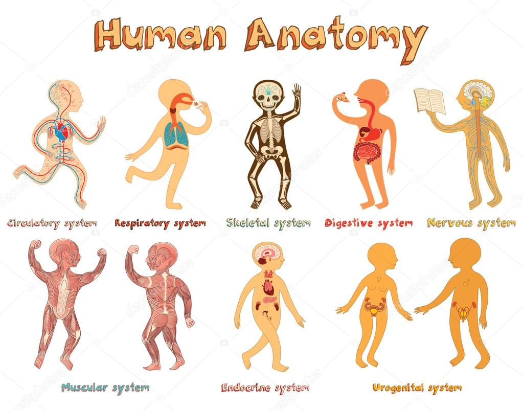 Abbildung der menschlichen Anatomie, Systeme der Organe für Kinder ...