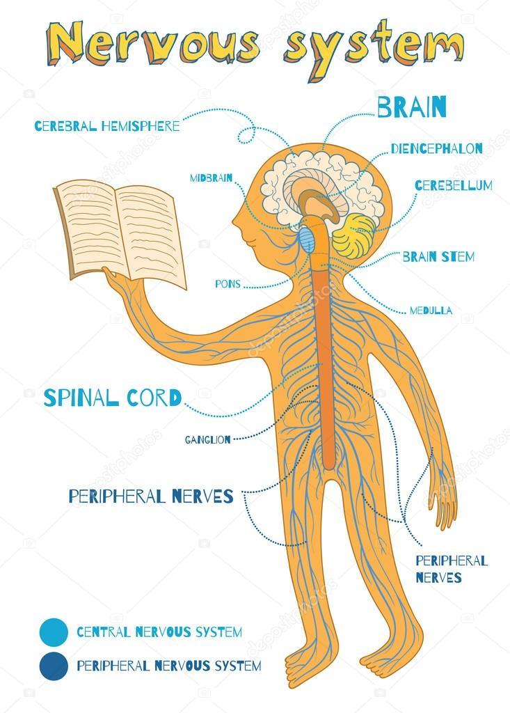 Vector Cartoon Illustration Of Human Nervous System For Kids Stock