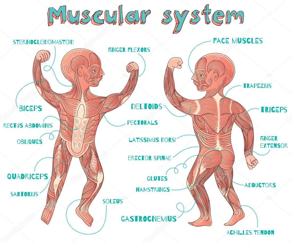 Vector ilustración de dibujos animados de sistema muscular humano ...
