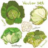Vektor s zelí, květák, cole, brokolice a savoy