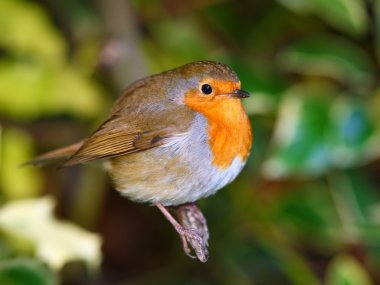 Robin bird on branch