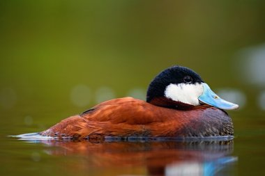 Ruddy duck chilling on the water