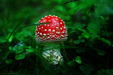 Toadstool in the dark forest