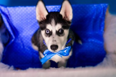 Husky puppy in a box with a basket of eggs