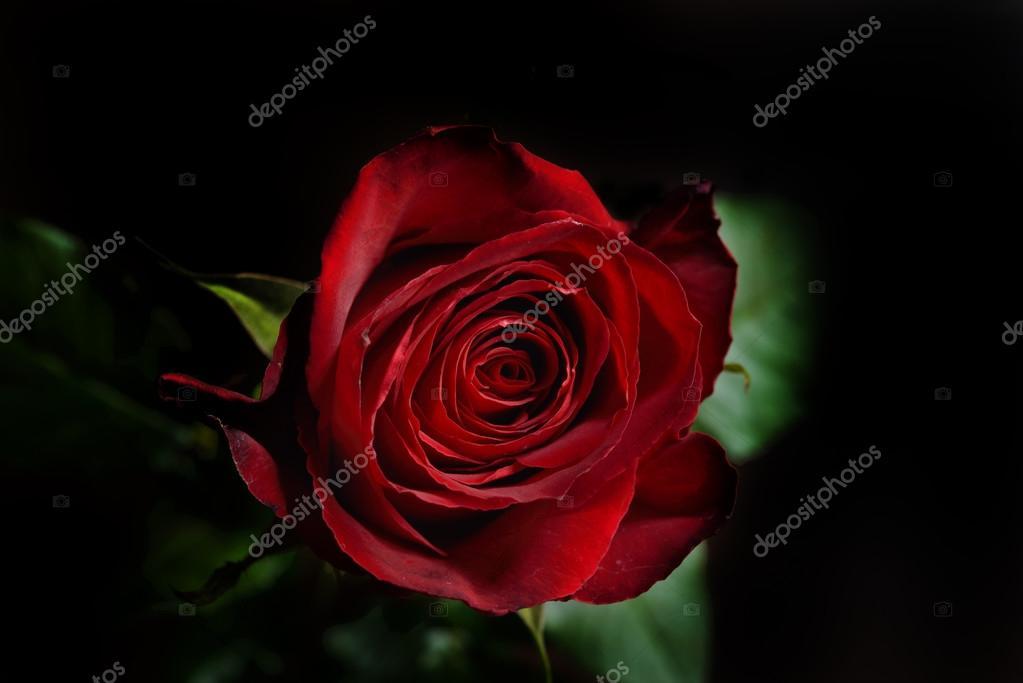 Unduh 63 Wallpaper Black Red Rose HD Paling Keren