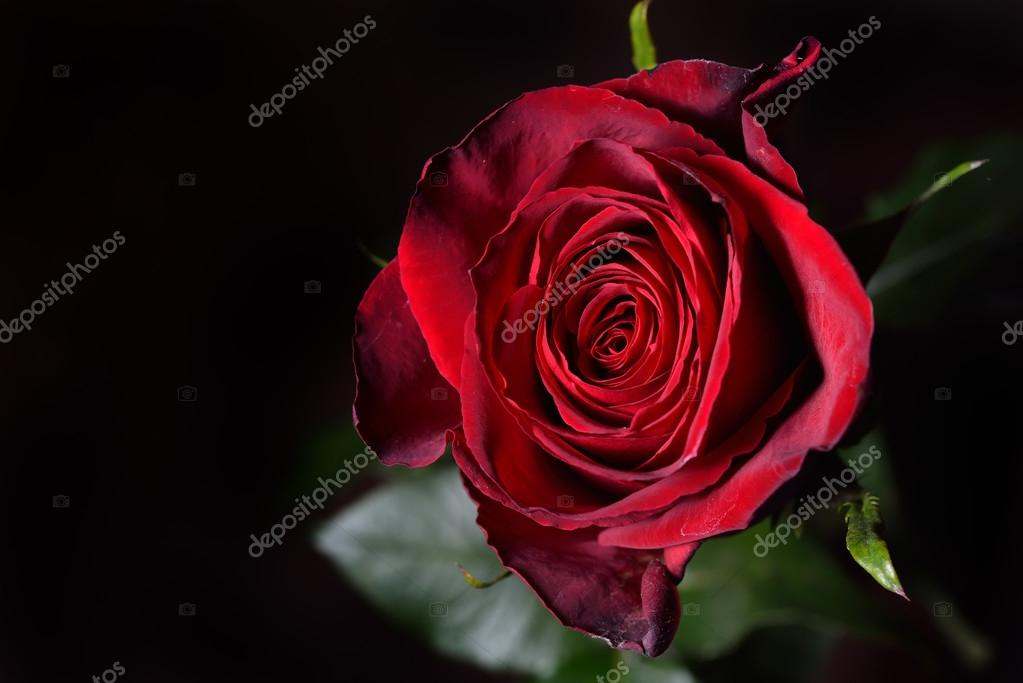 Photo Of A Red Rose On A Black Background In A Studio Wallpaper Stock Photo C Axentevlad 102016520
